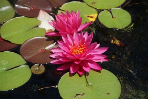 Overleaf Waterlily 3