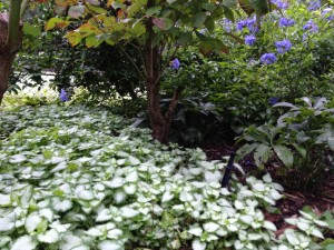 Overleaf Lamium ground cover